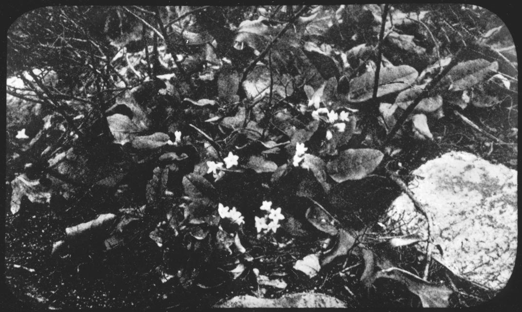 Mayflowers, no date