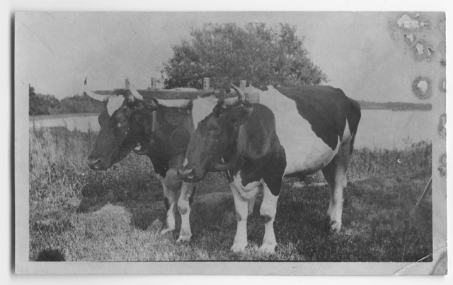 Horatio Adams' oxen, no date.
