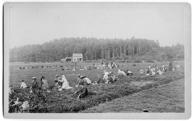 Cranberry harvest, Keith & Adams bog on Summer Street, October 1893