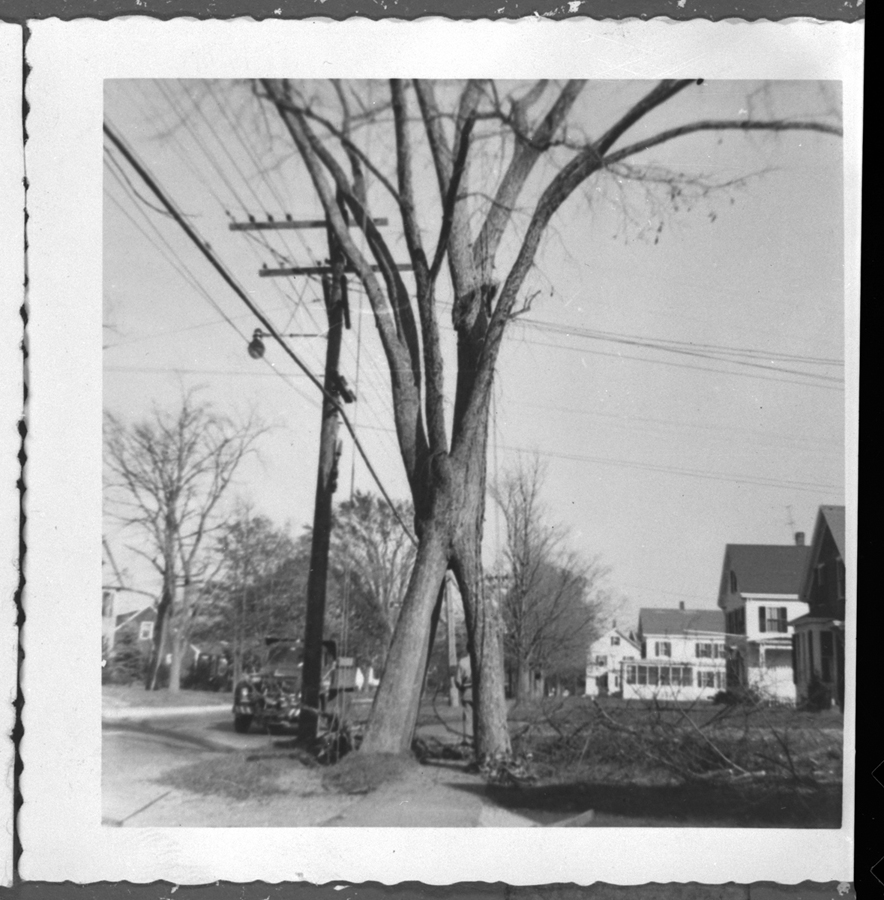 The four-trunk elm tree, about 1959.