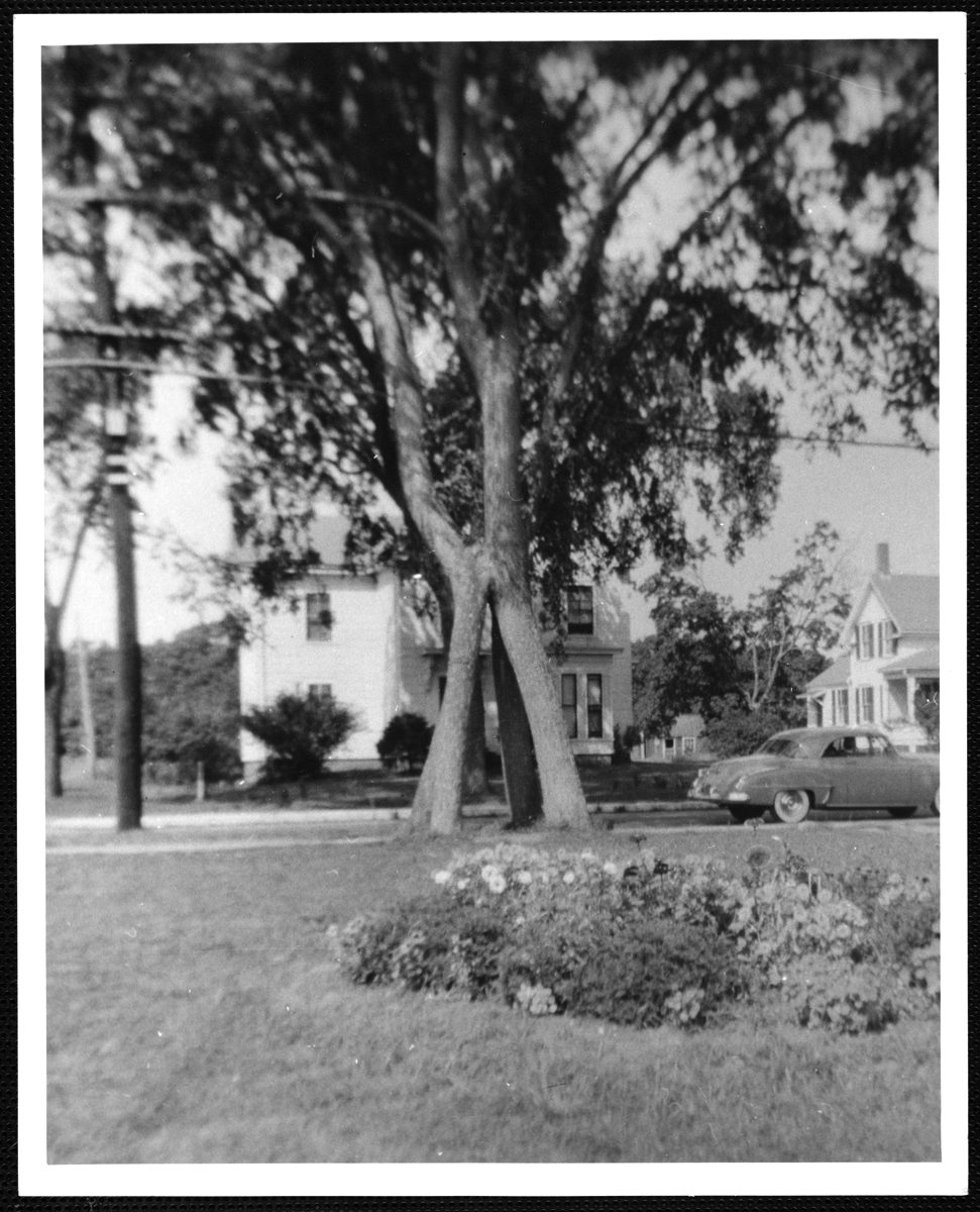 The four-trunk elm tree, about 1955.